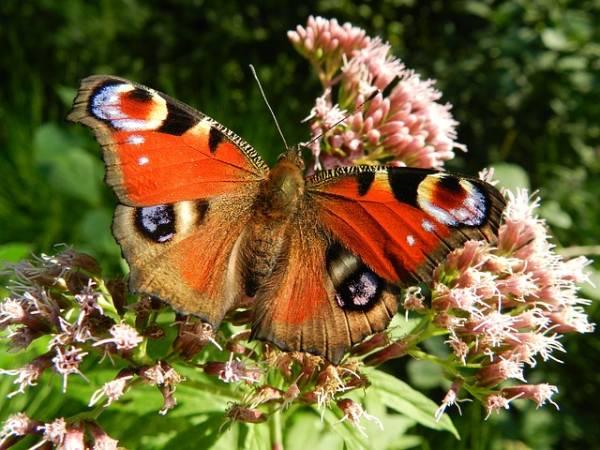 Krafttier Schmetterling