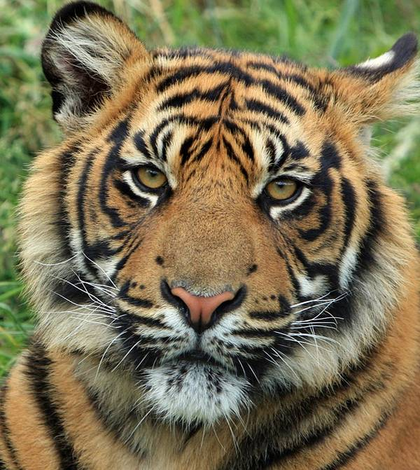 Krafttier Tiger